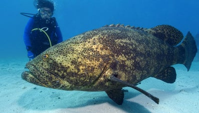 What Is the World Record for a Goliath Grouper?
