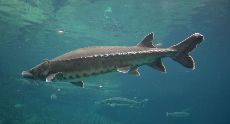 What Is the World Record for Sturgeon?