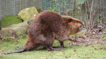 What Is the World Record Weight for a Beaver?