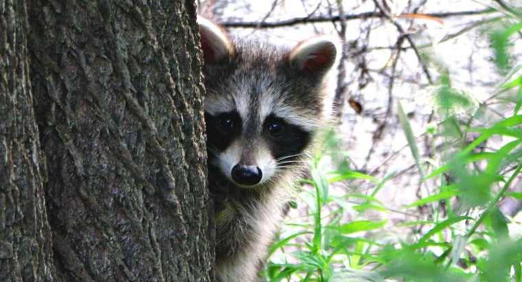 Why Would a Raccoon Come Out During the Day?