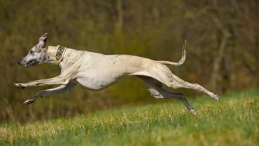 Who Would Win a Race of a Whippet Vs. a Greyhound?