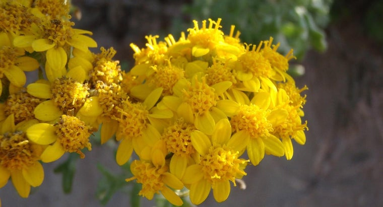 What Is Yellow Yarrow?