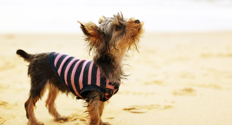 What Are Some Yorkshire Terrier Facts?