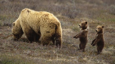 what type of bear is a bruin reference com