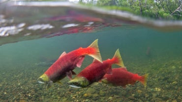 What Is a Young Salmon Called?