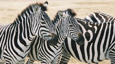 Where Does a Zebra Live?