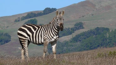 What Does a Zebra Sound Like?