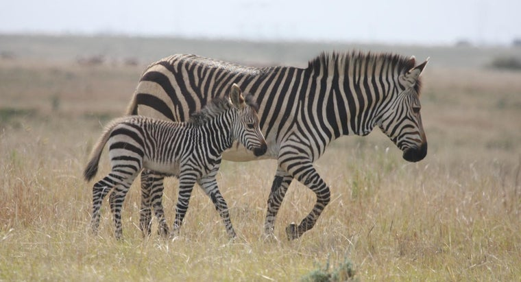 How Do Zebras Behave?