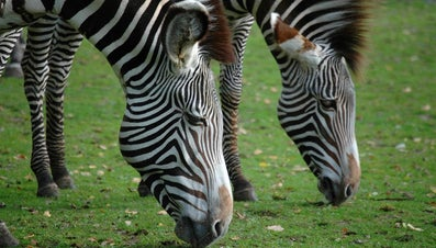 How Are Zebras Classified?