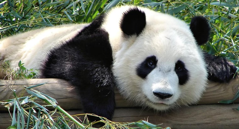 What Zoos Are Dedicated to Pandas?