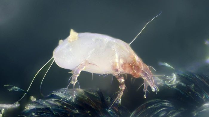 Where can you find images of dust mites?