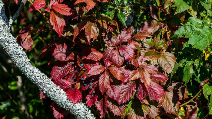 What is the Virginia creeper plant?