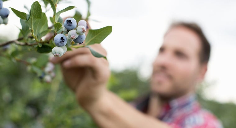What Are Expert Tips for How to Grow Blueberries?