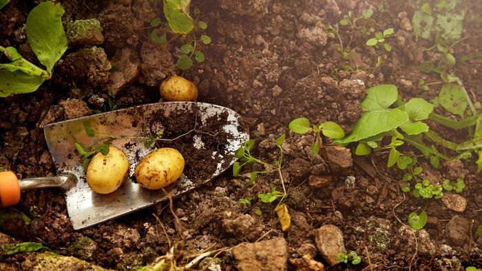 What steps are involved in planting potatoes?
