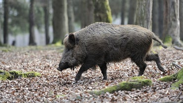 What Are Some Good Locations for Hunting Feral Hogs?