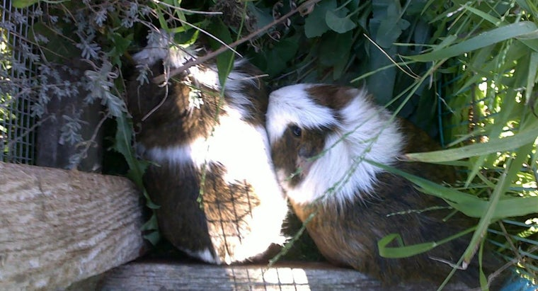 Where Are Guinea Pigs Usually for Sale?
