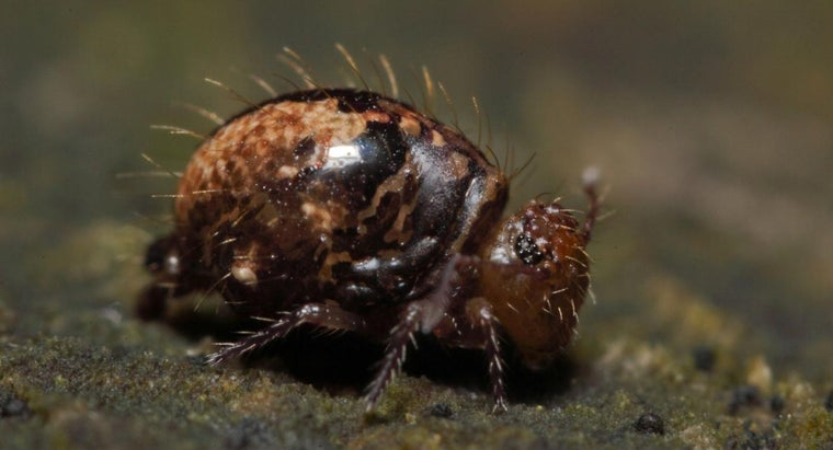 What Is a Springtail Bug?