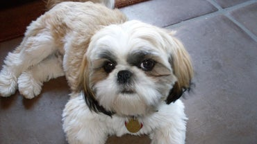 What Is the Average Life Span of a Shih Tzu?