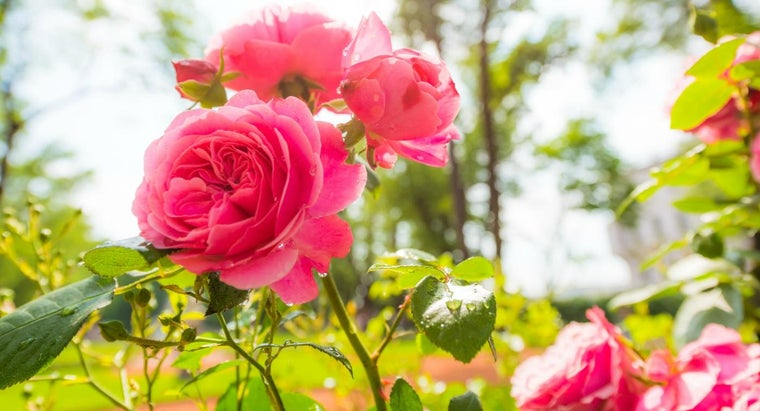 How Do You Plant a Rose Bush?