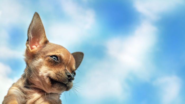 How Can I Get a Tea Cup Chihuahua From an Organization That Rescues Dogs?
