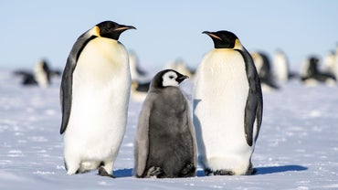 How Do Emperor Penguins Raise Their Young?