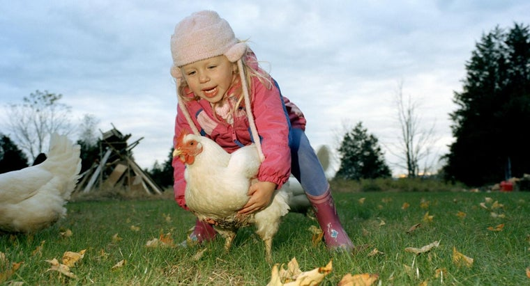 How Do You Raise Chickens in a Backyard?
