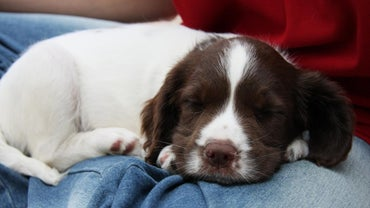 How Much Does a Springer Puppy Usually Cost?