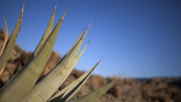 What Are Some Possible Side Effects of Using Agave Nectar?