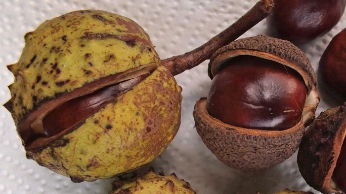 What Is a Horse Chestnut?