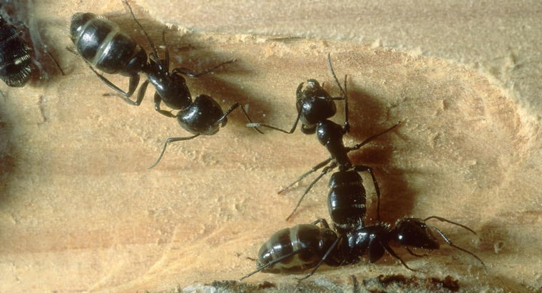 What Are Some Good Products for Killing Carpenter Ants?