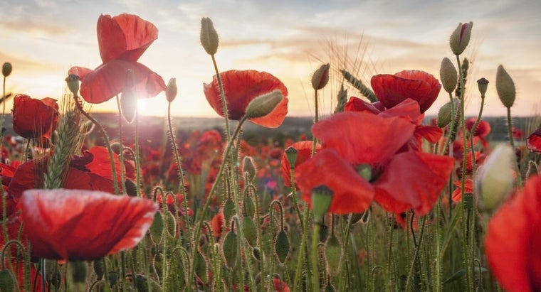 What Are Some Distinguishing Characteristics of Poppy Flowers?