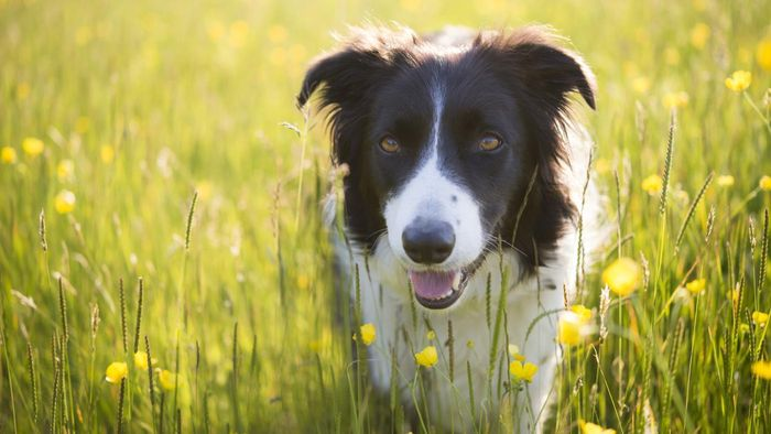 What Is Involved in Adopting a Border Collie?