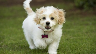 How Do You Rescue a Cavachon Dog?