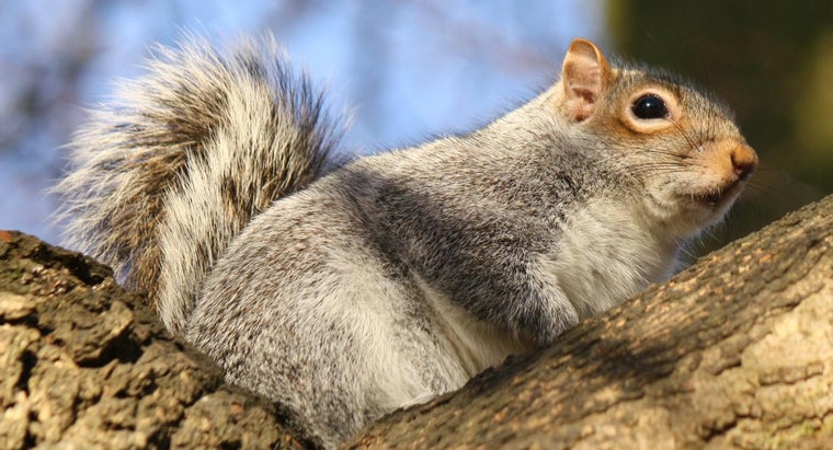 What Are Some Good Squirrel Recipes?