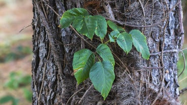 What Is a Good Home Remedy for Poison Ivy?