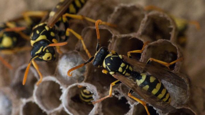 How Do You Remove a Wasp Nest?