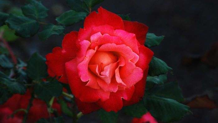 Is Winter the Safest Time to Prune Rose Bushes?