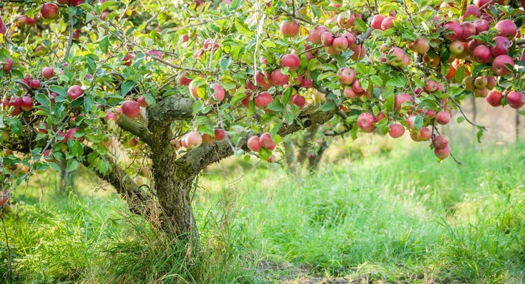 What Are the Basics of Apple Tree Trimming?