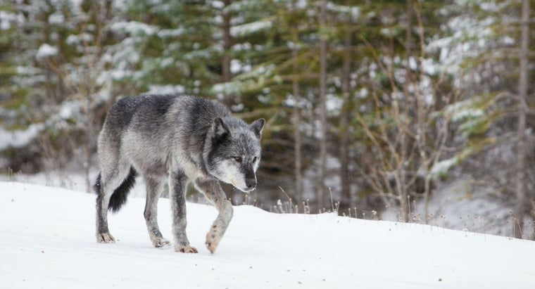 Where Do Gray Wolves Generally Live?