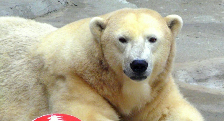 What Is the Average Weight of an Adult Polar Bear?