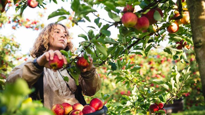 What Are Some Orchards in Illinois Where You Can Pick Apples?