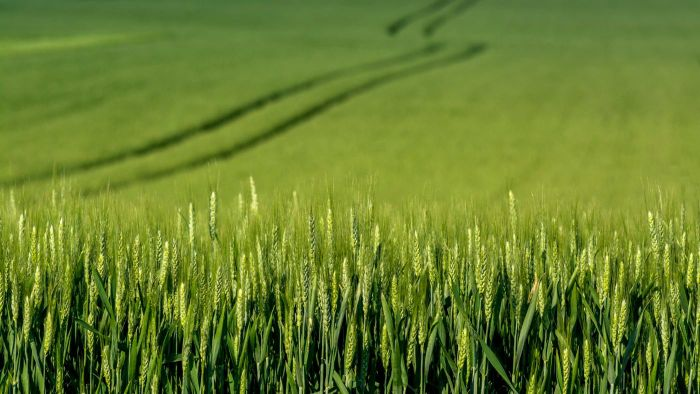 What Are the Health Benefits of Green Barley?