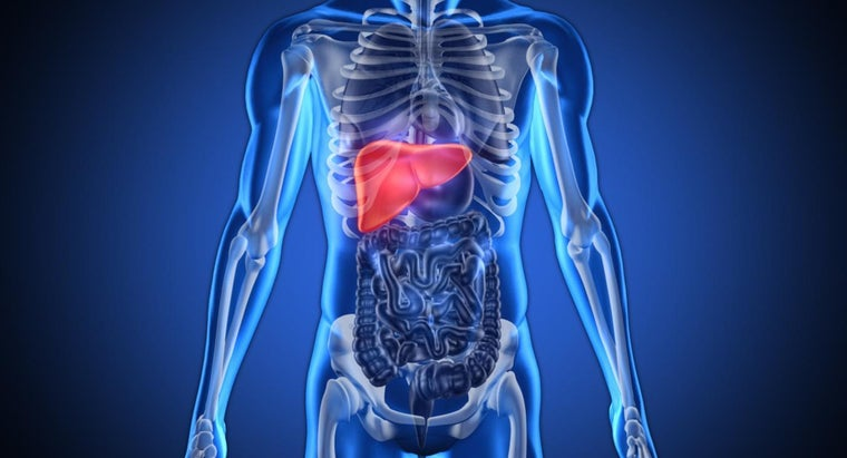 Where Is the Human Liver Located?