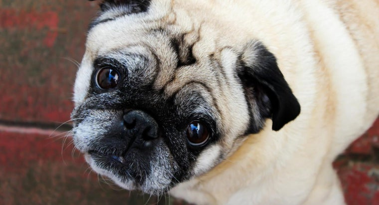 Where Can You Find Pugs for Rescue?
