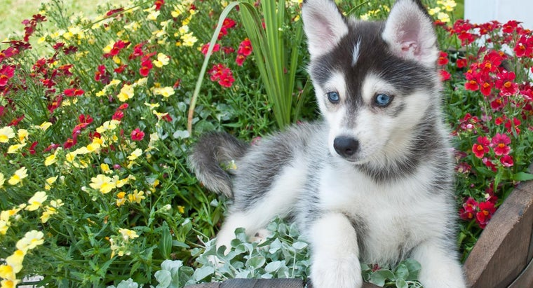 What Are Some Reputable Pomsky Breeders?