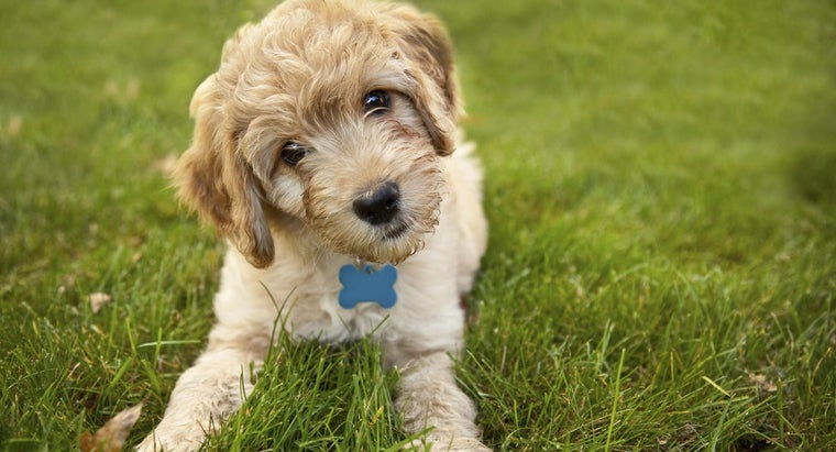 What Are Mini Goldendoodle Puppies?