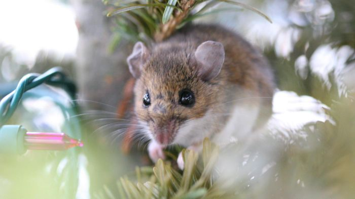 What Are Some of the Best Poisons to Kill Mice?