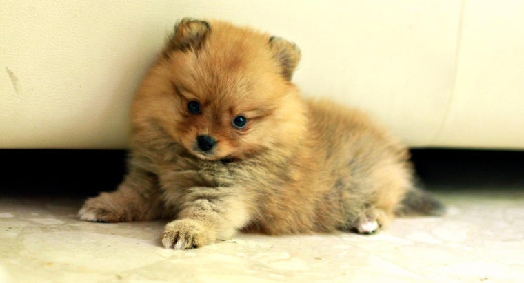 Where Can You Buy Pomeranian Puppies?