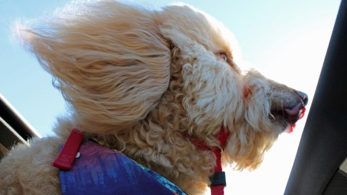 Where Can You Find Goldendoodle Rescues?