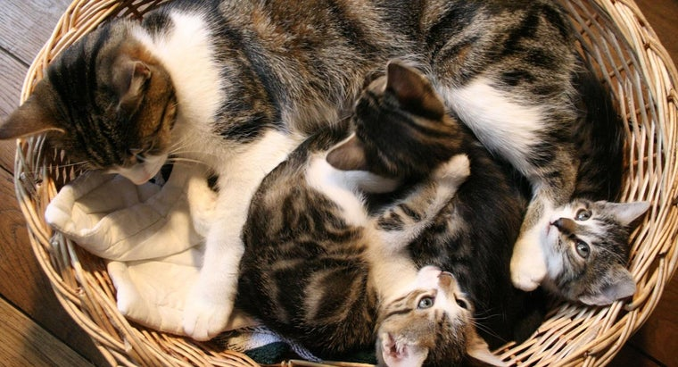 What Is the Average Length of Pregnancy for a Cat?